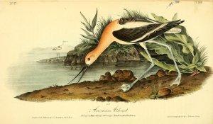 John James Audubon - The birds of America : from drawings made in the United States and their territories (1840), una de las obras que se pueden descargar libre y legalmente desde Internet Archive