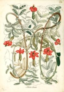 Celestino Mutis - Mutisia Clematis