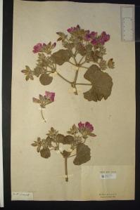 Una lámina del herbario de Jean-Baptiste Lamarck