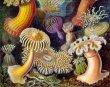 Haeckel_Actiniae-750px