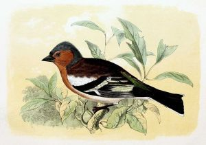 John Gerrard Keulemans – Pinzón común (1869)