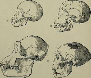 Comparación de cuatro cráneos (1918): A. Chimpancé joven. B. Cráneo de Piltdown. C. Chimpancé adulto macho. D. Cráneo de Hombre de Neanderthal.